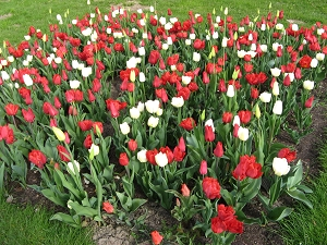 Tulpenbeete Gruga Essen
