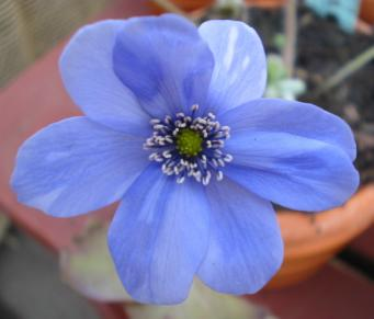Hepatica Leberblümchen