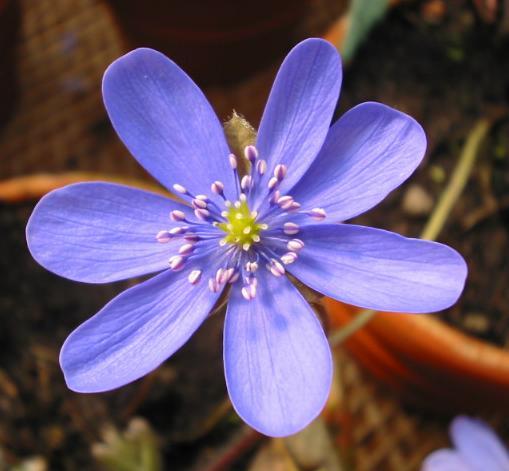 Leberblümchen Hepatica Foto Brandt