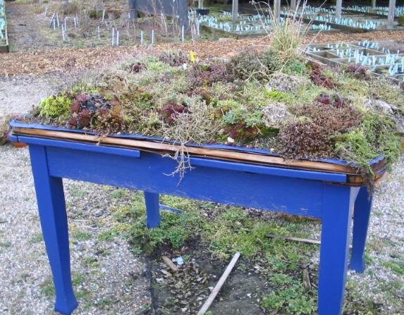 Sempervivumtisch in der Gärtnerei Peters Foto Maria Mail-Brandt