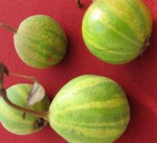 treulose tomate bilder