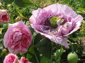 Rose mit Schlafmohn fotografiert im Garten Packwood House England