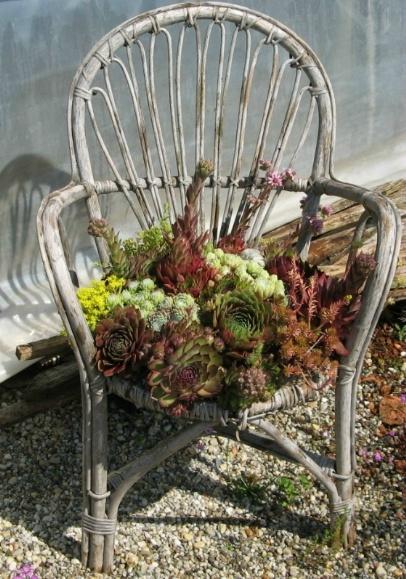 Sempervivum-Stuhl Foto Brandt